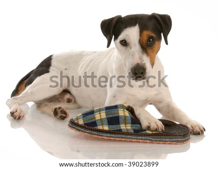 playful dog - smooth coat tri-color jack russel terrier with favorite slipper - stock photo