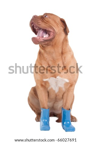 Playful dog with blue boots looking aside - stock photo