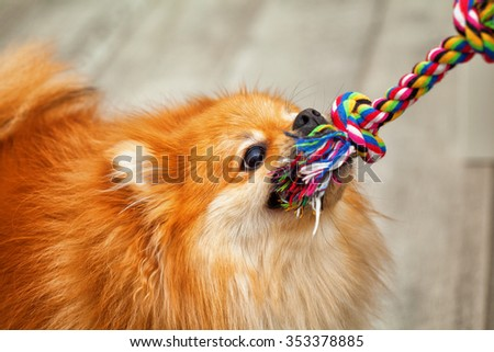 playful dogs play - pulls the toy - stock photo