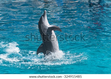 playful dolphin leaps out of the water and poses, rich azure water in the pool - stock photo