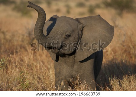 Playful Elephant Calf - stock photo