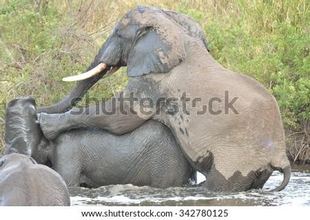 Playful Elephants in a Waterhole in the Serengeti, Tanzania - stock photo