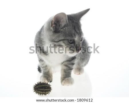 Playful fruit pussy kitten - stock photo