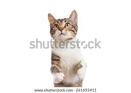Playful funny cat, kitten isolated on white background - stock photo