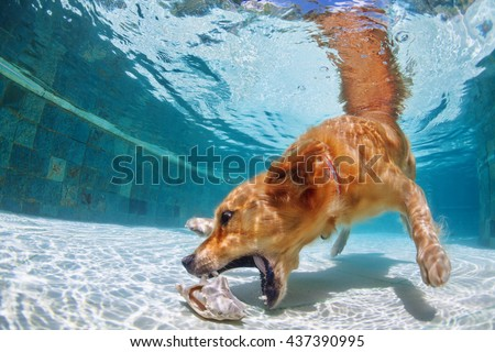 Playful golden retriever labrador puppy in swimming pool has fun - dog jump and dive underwater to retrieve shell. Training and active games with family pets and popular dog breeds on summer holiday. - stock photo