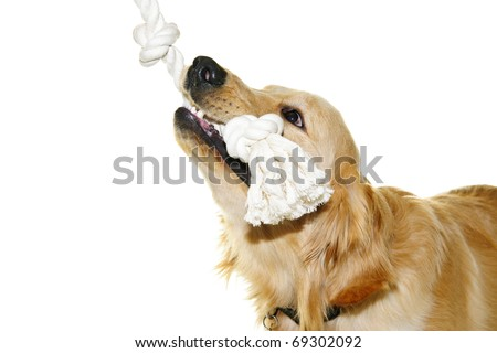 Playful golden retriever pet dog biting rope toy isolated on white background - stock photo