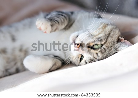 playful gray cat laying on the sofa at home - stock photo