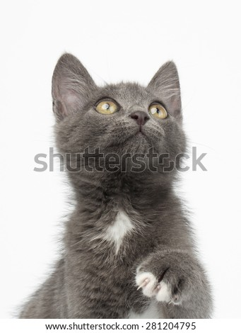 Playful Gray Kitty Raising Paw and Looking up on White Background
