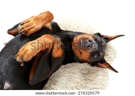 Playful humour. Joyful lying dobermann pinscher on background of white carpet with bended paws. - stock photo