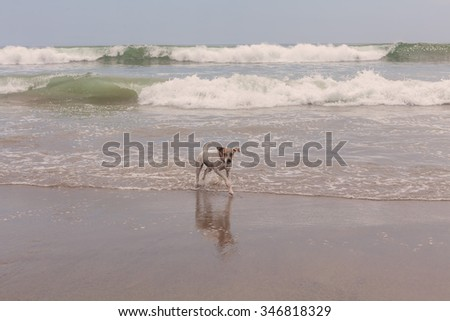 Playful Jack Russell Terrier Dog Playing In The Pacific Ocean - stock photo