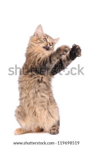 playful kitten cat isolated on white - stock photo