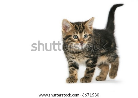 Playful Kitten isolated on white - stock photo