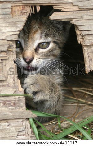 Playful kitten peeking from the mouse hole - stock photo