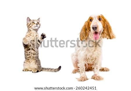Playful kitten Scottish Straight and dog breed Russian Spaniel isolated on white background - stock photo