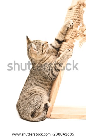 Playful kitten Scottish Straight sharpening its claws on the scratching post - stock photo