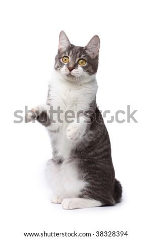 Playful kurilian bobtail - stock photo