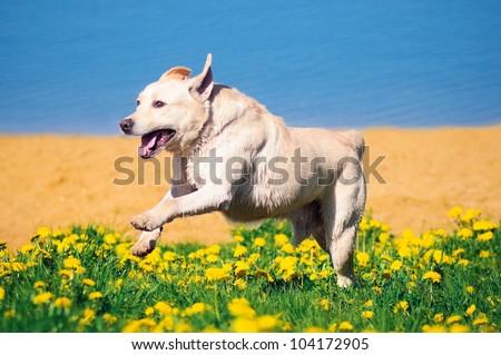 Playful Labrador Retriever running on green grass - stock photo