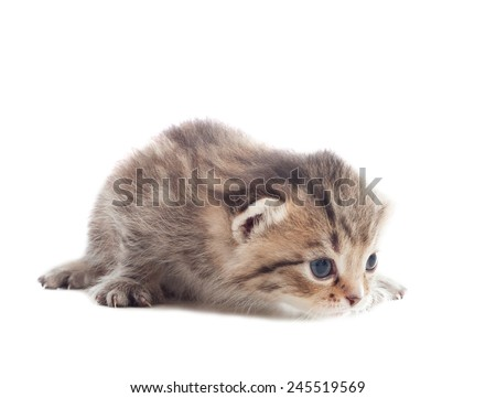 playful little kitten learns to hunt on a white background isolated