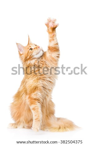 Playful maine coon cat looking up. isolated on white background