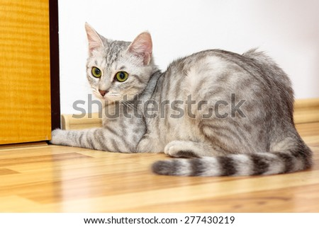 Playful 6 months old silver tiger kitten (silver tabby) sitting on a hard wood floor trying to open the door  - stock photo