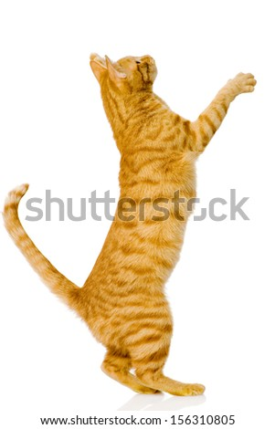 playful orange cat. isolated on white background - stock photo
