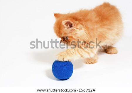 playful orange Himalayan kitten - stock photo