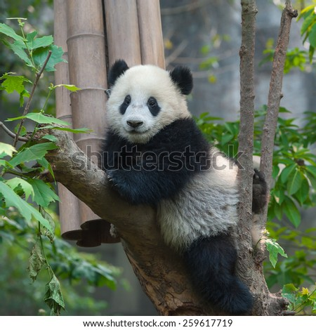 Playful panda cub in tree - stock photo