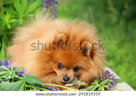 Playful pomeranian dog in the summer flowers on nature background - stock photo