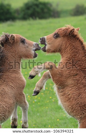 Playful ponies, face-to-face
