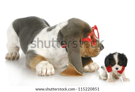 playful puppies - cute bassett hound puppy playing with cavalier king charles spaniel puppy - stock photo