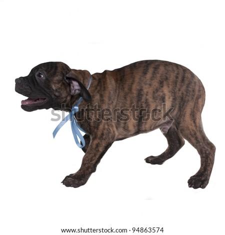 Playful puppy barking isolated - stock photo