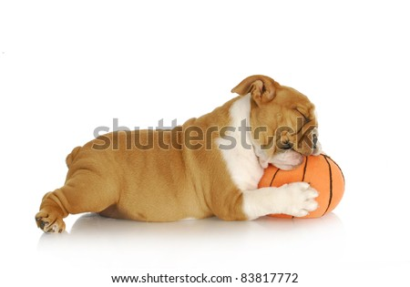 playful puppy - english bulldog playing chewing stuffed basketball on white background - nine weeks old