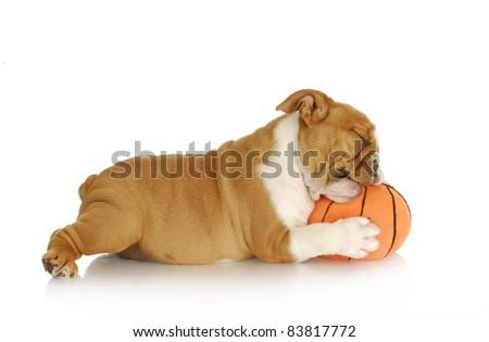 playful puppy - english bulldog playing chewing stuffed basketball on white background - nine weeks old - stock photo