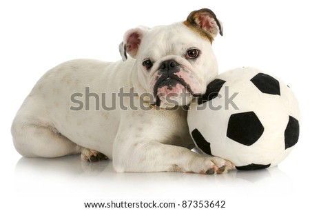 playful puppy - english bulldog playing with soccer ball with reflection on white background - stock photo