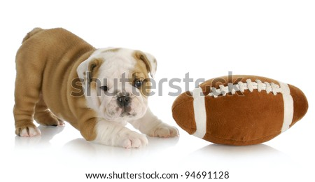 playful puppy - english bulldog puppy playing with football - stock photo