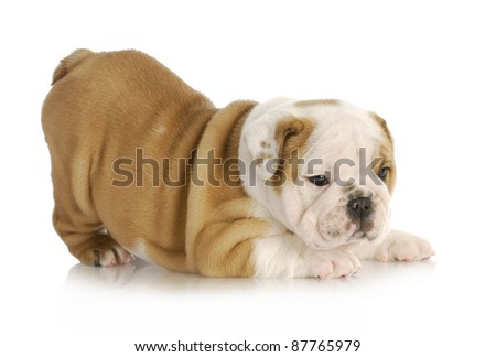 playful puppy - english bulldog puppy with bum in the air - 6 weeks old - stock photo
