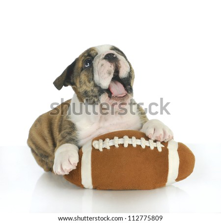playful puppy - english bulldog puppy with football isolated on white background - stock photo