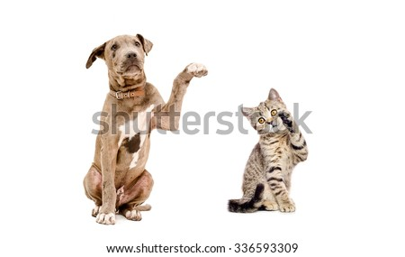 Playful puppy pit bull and a  kitten Scottish Straight isolated on a white background - stock photo