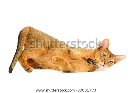Playful purebred abyssinian young  cat isolated on white