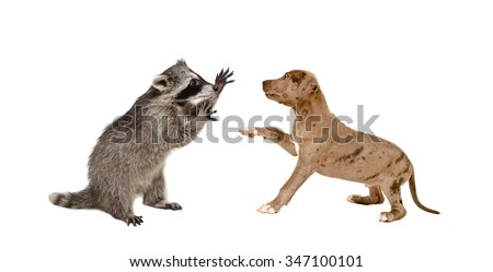 Playful raccoon and a pit bull puppy, isolated on a white background - stock photo