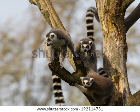 Playful Ring-tailed lemurs (Lemur catta) in a tree - stock photo