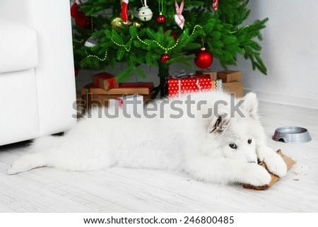 Playful Samoyed dog with firewood with Christmas tree on background - stock photo
