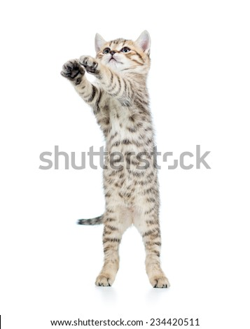 playful scottish kitten isolated on white background
