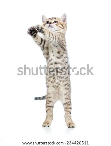 playful scottish kitten isolated on white background - stock photo
