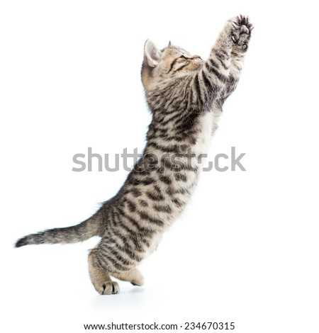 playful scottish kitten jumping up isolated on white background  - stock photo