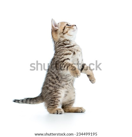 playful scottish kitten looking up. isolated on white background