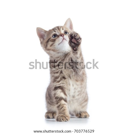 Playful Scottish Straight kitten sitting isolated over white background.