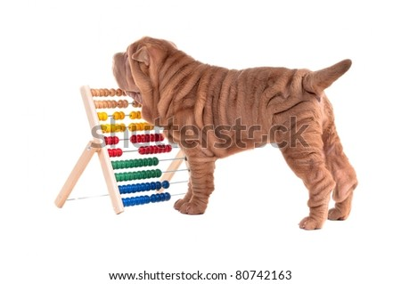Playful shar-pei puppy and an abacus isolated on white background - stock photo