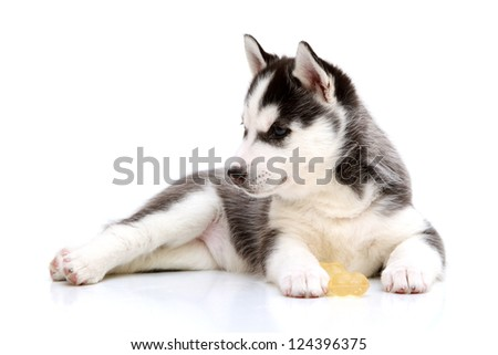 Playful Siberian Husky puppy - stock photo
