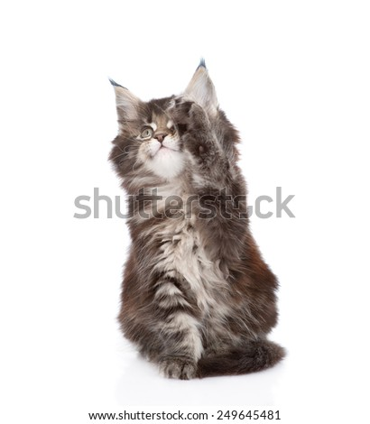 playful small maine coon cat. isolated on white background - stock photo